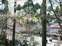意外と知られていない三千院の桜! 4月半ばが見頃です