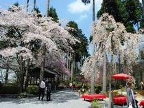 意外と知られていない三千院の桜!