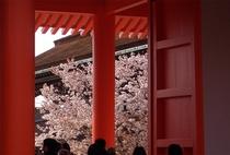 御所桜は王朝ムード満点の味わいがありますよ