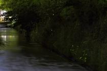 みそそぎ川のホタル