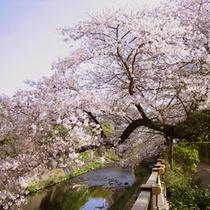 松川の桜並木