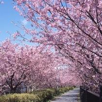 河津桜 並木