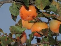 観光 柿の収穫