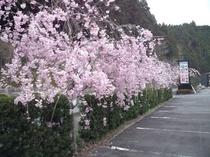 駐車場の枝垂桜