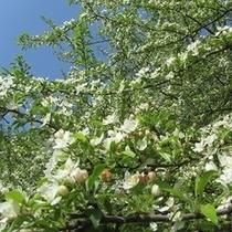 ズミ 桜に劣らぬ美しさ