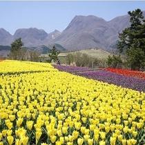 くじゅう花公園のチューリップ畑(春)