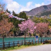 春の赤谷湖と鯉のぼり 鯉のぼりは当館の裏庭近くの湖畔からつるしています♪