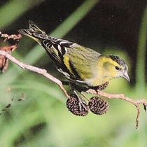 国指定の「野鳥の森」では貴重な旅鳥が目撃されることも!【野鳥】マヒワ