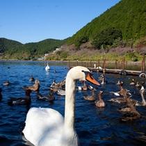 いむた池に住む 白鳥・鴨の群れ