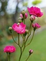 庭に咲いている小バラ