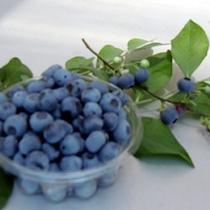 【ブルーベリー狩り】当館からお車で約10分の「ベリーファーム碓井」さんで甘酸っぱいブルーベリーを!