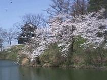 春の高田公園(日本三大夜桜)