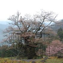 樽見の大桜 樹齢は1000年を超える、県下最大のエドヒガン桜(駐車場から約400mの登山道あり)