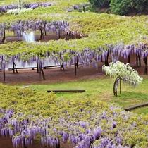 大町藤公園 5月上旬~中旬にかけ藤が咲き乱れ、幽玄な空間を創り出します。山陰一の規模です