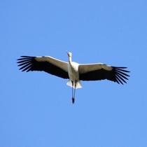 大空舞うコウノトリ 平成17年の放鳥以来、野生下でヒナが誕生し、豊岡では自然に飛んでいます