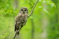 野鳥ガイドではフクロウに出会えることも