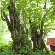 *周辺散策/「兄弟桂」樹齢約500年、山神神社にある双子の桂の巨木です。