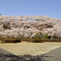 *草木ダム下水の広場/当館から車で約10分、4月見頃は300本ものソメイヨシノが満開に