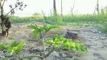 親ガメの産卵。4月中旬頃から7月初旬頃まで・・・
