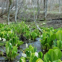 *【周辺】妙高に春の訪れを告げるいもり池のミズバショウ。