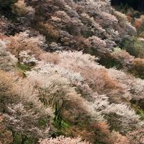 吉野山・上千本桜