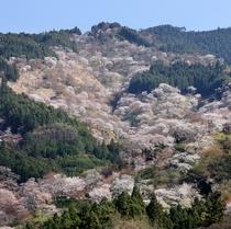 吉野山・中千本桜