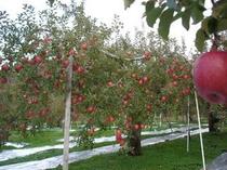 リンゴ園のなか