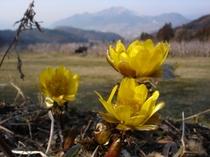 福寿草〜雪国の春の象徴