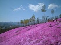 滝上・芝桜