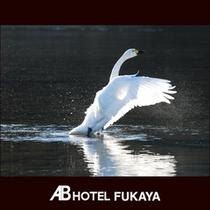 白鳥飛来地
