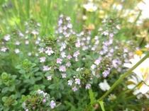 ハーブガーデン タイムの花