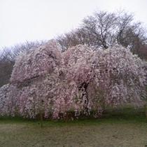 ■枝垂桜 さくらの里