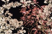 夜桜 さくらの里ライトアップ