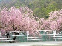 広瀬湖畔の桜