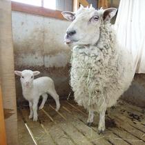 羊とヤギが仲良く暮らしています