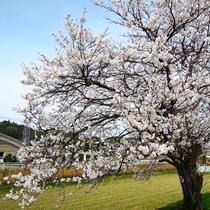春には桜が満開になります