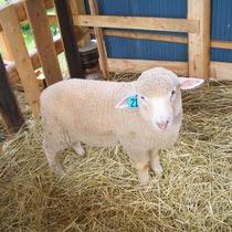かわいい羊たちが出迎えます♪
