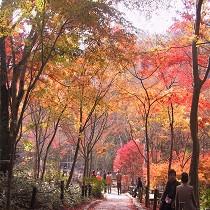紅葉の見頃は11月中旬です。