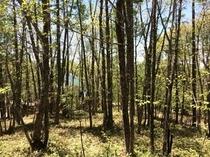春〜初夏の赤松林