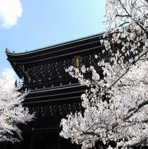 知恩院(桜)②