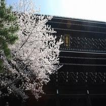 知恩院(桜)③