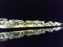 ライトアップされた五十鈴川の桜