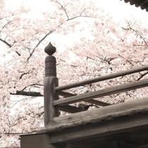 大雲寺 桜
