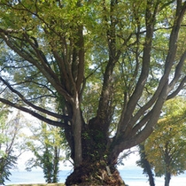 *立派な木がそびえ立ちます。