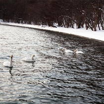 *十和田湖にお客様が!白鳥さんたちが集まってきました♪
