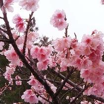 一足お咲に!もとぶ八重岳桜<日本一早い桜祭りへ♪