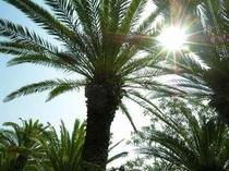 入田浜沿いの椰子の木も夏を待ちわびています。
