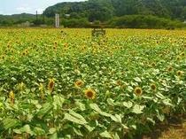 とらやから車で南に10分、ひまわり畑が広がります!8月初旬から見ごろです。