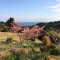 庭の河津桜と海