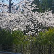 *【天竜峡/桜】春には美しい桜をご覧いただけます。